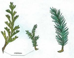 Как вырастить хвойные из черенков