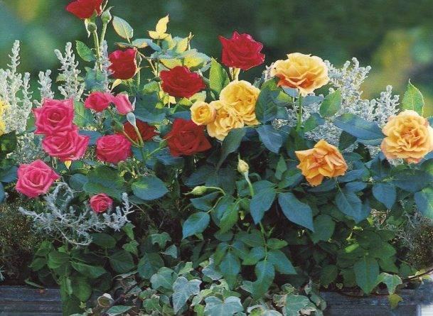 Время посадки роз осенью