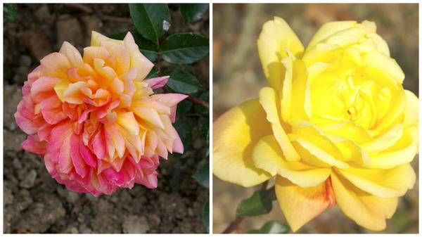 Розы двухцветные сорта