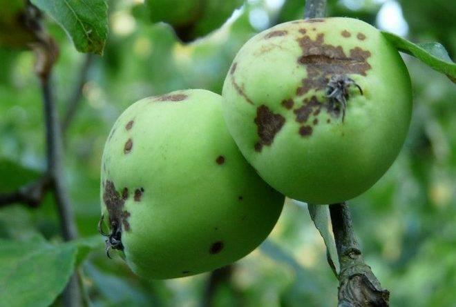 Парша на яблоне лечение