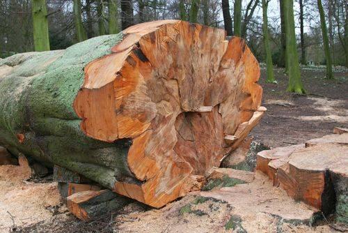 Как спилить высокое дерево на участке самому