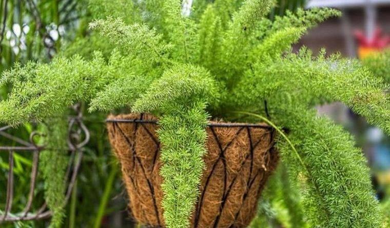 Домашнее растение похожее на елочку