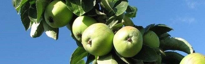 Диаметр кроны яблони