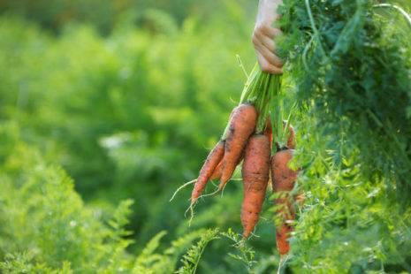 Морковь московская зимняя описание