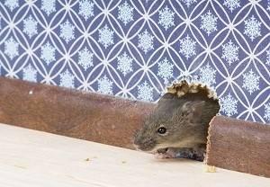 Как быстро избавиться от мышей в доме