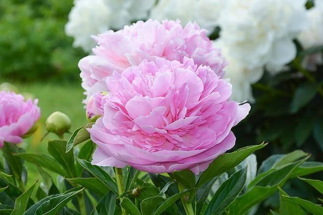 Пион строение цветка