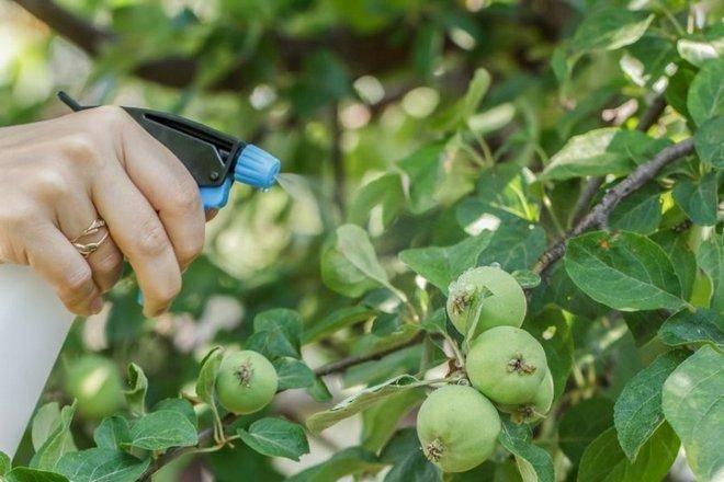 Сорт яблони россиянка фото и описание сорта