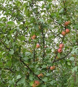 Дикая яблоня фото