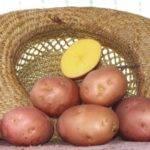 Шершавка картофель