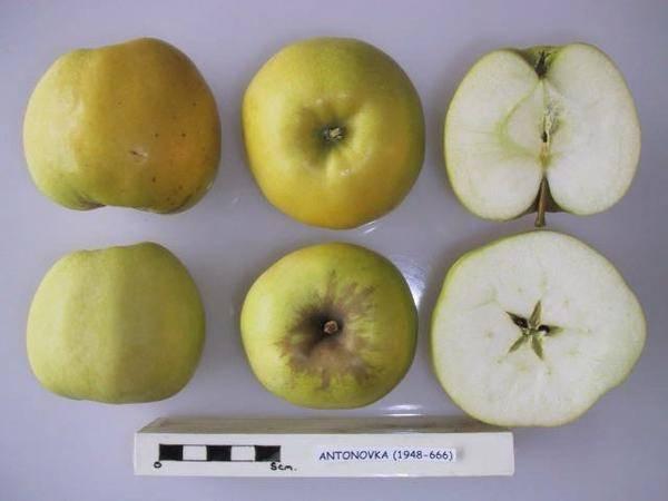 Народная энциклопедия сортов яблони