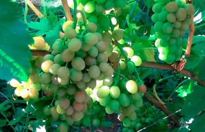 Самые устойчивые сорта винограда к болезням