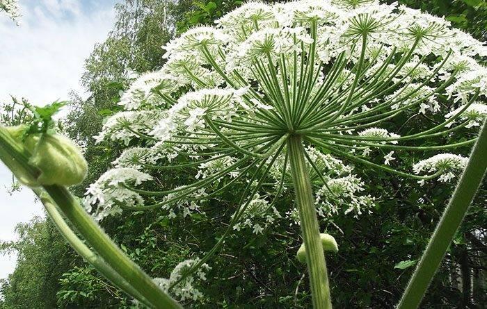 Зонтичные растения фото с названиями