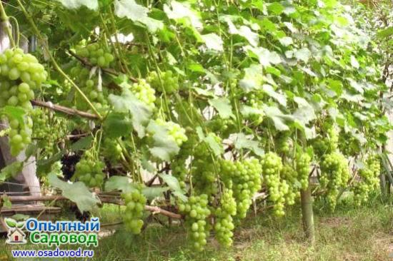 Виноградарство для начинающих