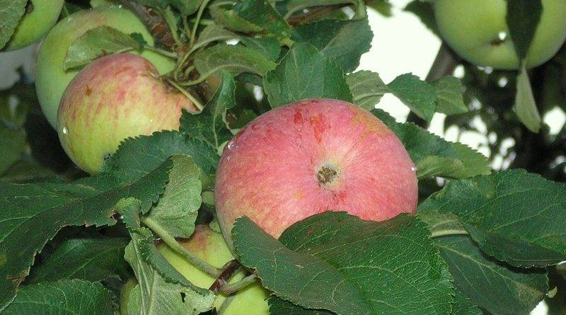 Сорта зимних яблок фото с названием