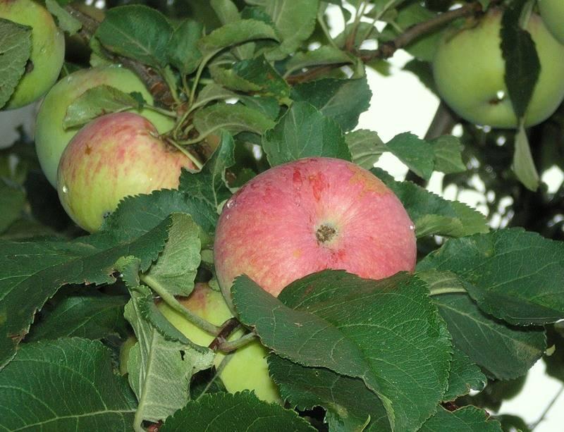 Яблоня зимнее наслаждение описание фото