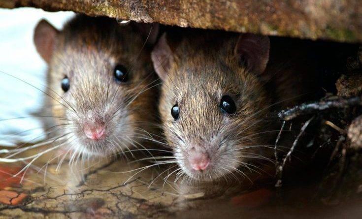 Как вывести мышей из дома народными средствами
