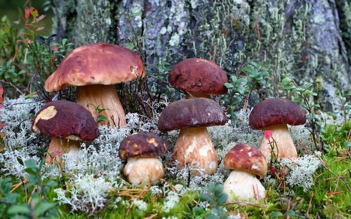 Под какими деревьями растут грибы
