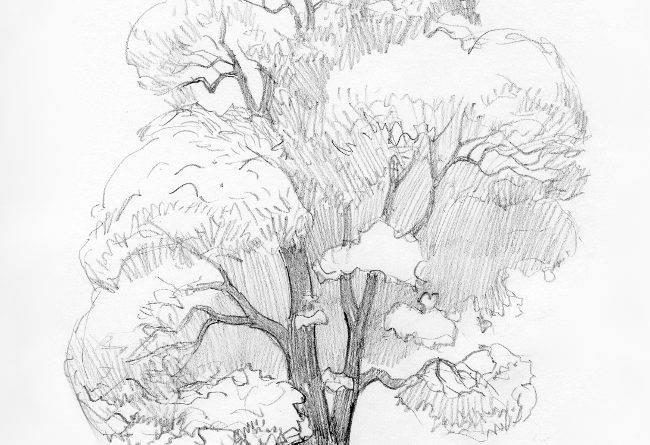 Крона дерева рисунок