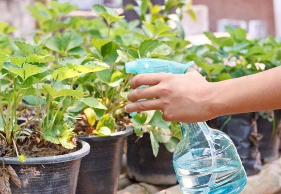 Нашатырный спирт применение для растений