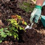 Как выращивать розы из семян