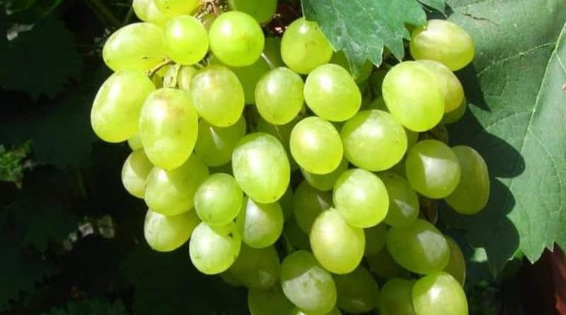 Столовые сорта винограда фото и описание