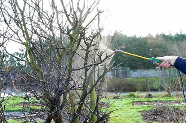 Опрыскивание плодовых деревьев весной