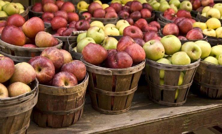 Поздние сорта яблок для средней полосы