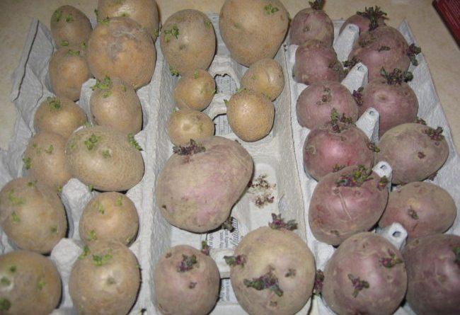 Картошка американка фото описание