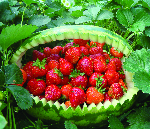 Как из семян выращивать землянику