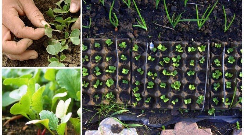 Как выращивать редис