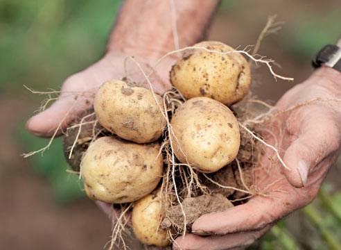 Сорт картофеля для пюре