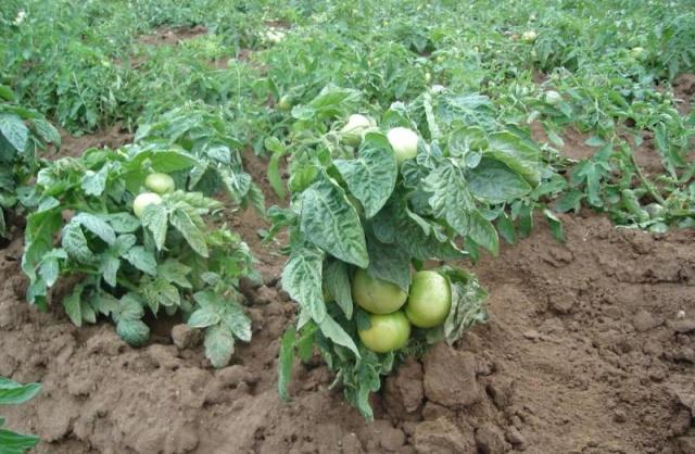 Сорта томатов без пасынкования низкорослые