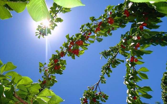 Опыление вишни