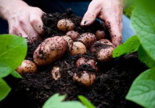 Сорт картофеля который не ест колорадский жук