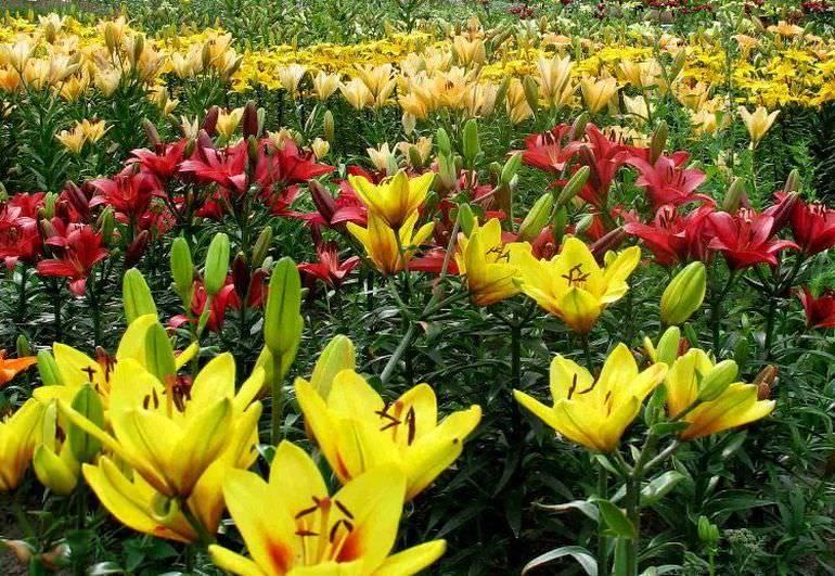 Выращивание лилий из семян в домашних условиях