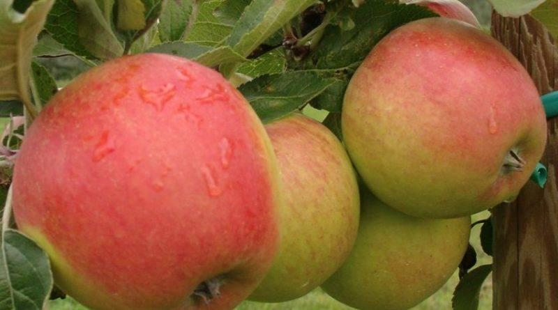 Сорт яблуні пінова