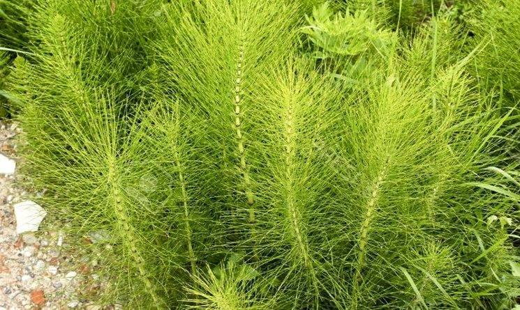 Сорняковые растения