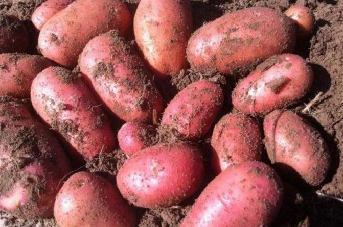 Сорта картофеля для сибири фото и описание