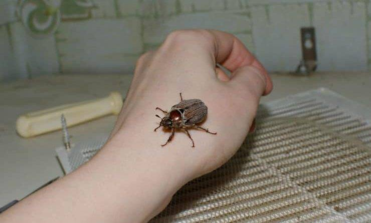 Жуки насекомые фото с названиями