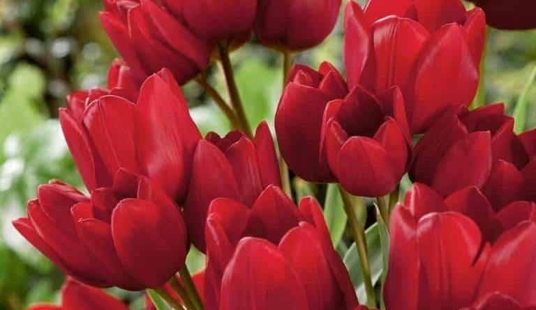 Кустовые тюльпаны фото