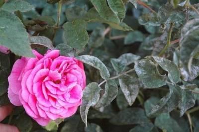 Карликовые розы фото