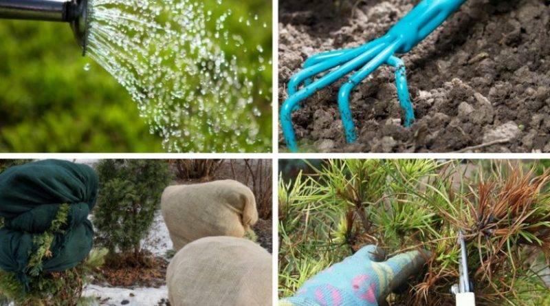 Низкорослые хвойники в саду фото