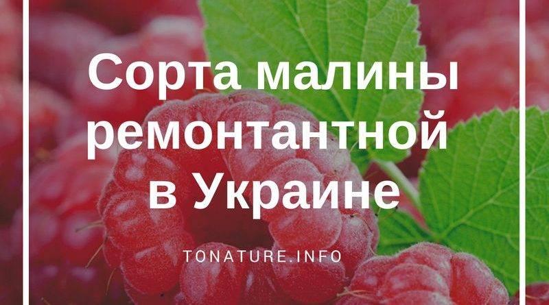 Ремонтантная малина лучшие сорта в украине