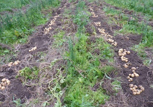 Проволочник в картошке как избавиться народные средства
