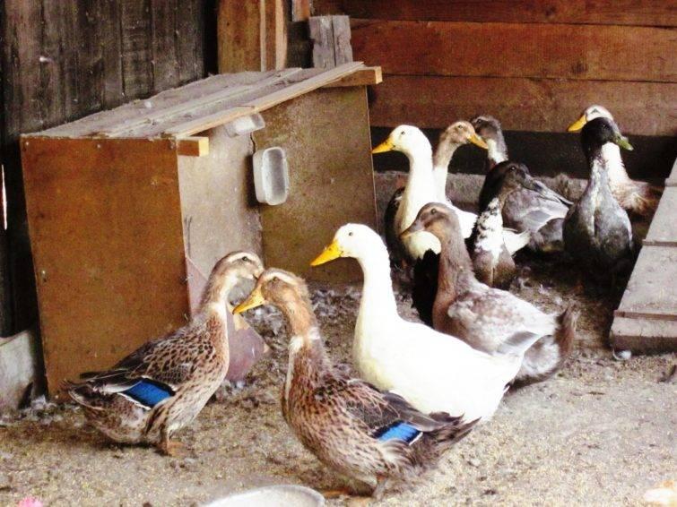 Использование куриного помета в качестве удобрения