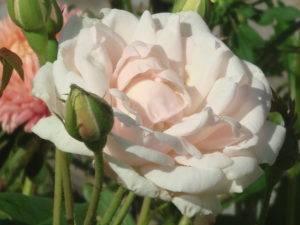 Какие бывают розы названия и фото