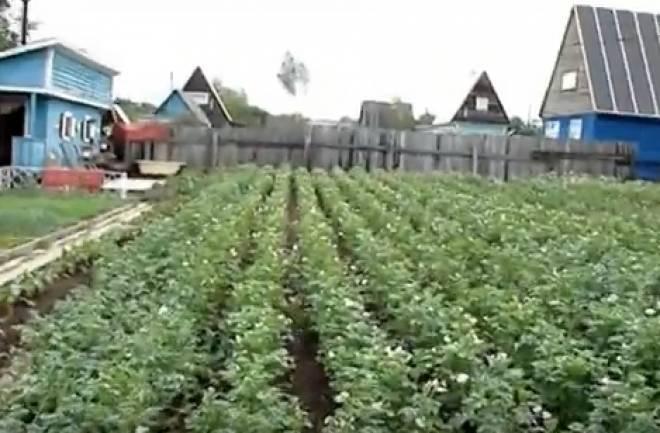 Семена у картофеля образуются в результате
