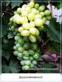 Виноград устойчивый к болезням
