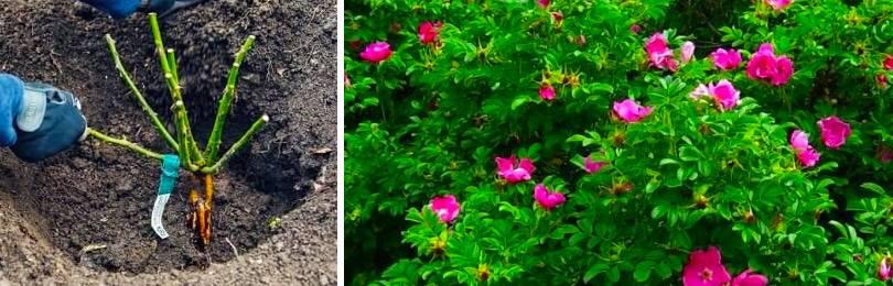 Шиповник в саду