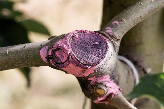 Обрезка плодовых деревьев весной схема